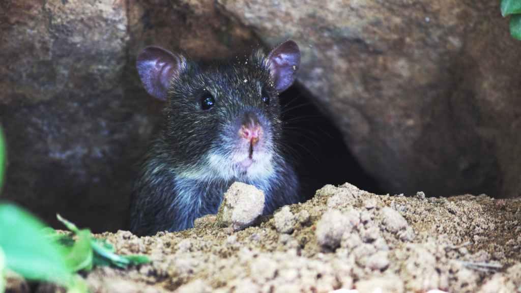 observant rotte planlegger neste angrep på katten